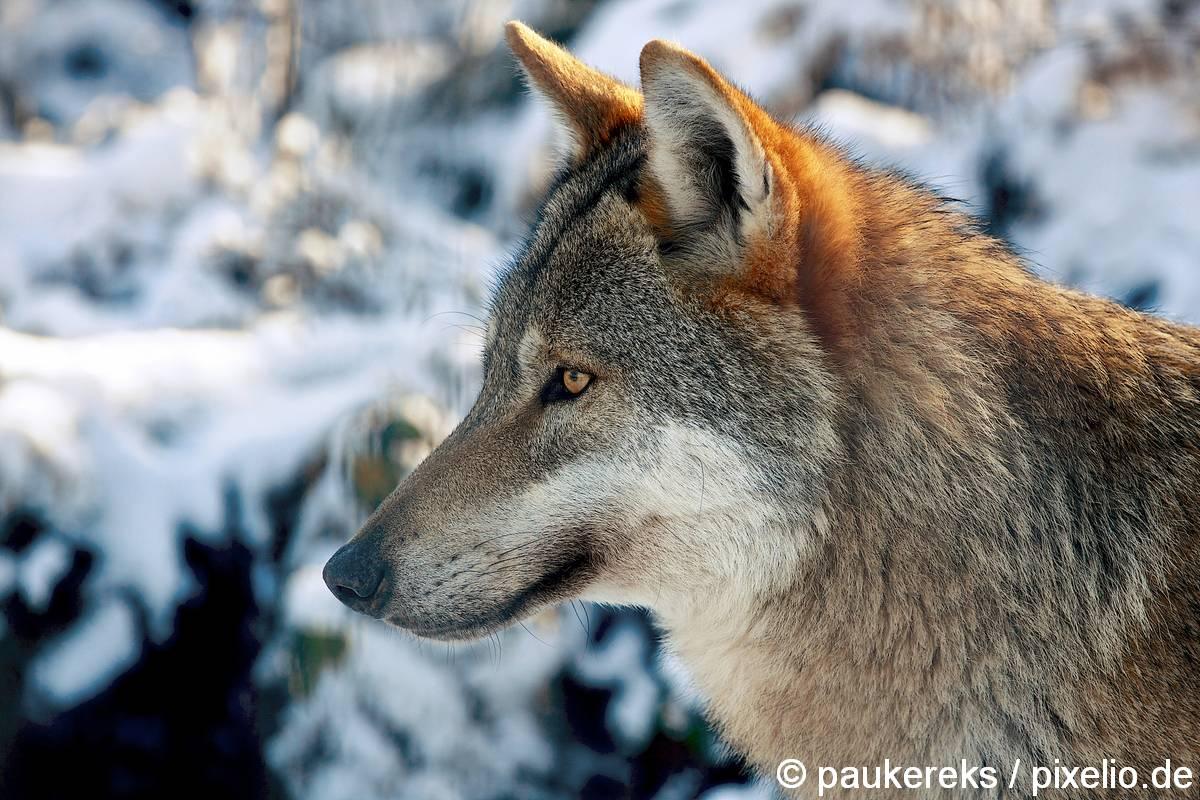 elternschaft statt alphatier die sache mit dem wolfsrudel spass mit hund. Black Bedroom Furniture Sets. Home Design Ideas