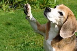 beagle-asta-winken