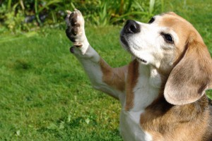 beagle-asta-winkt