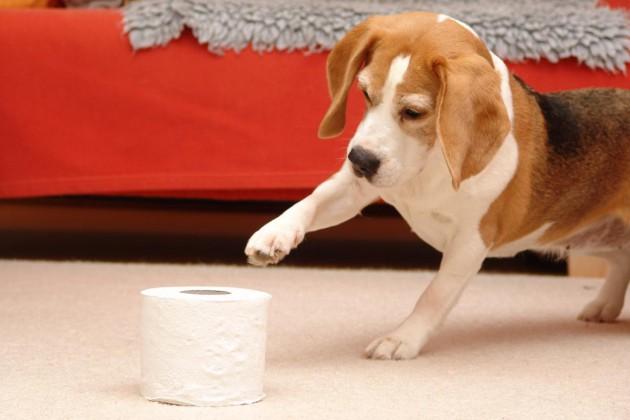 beagle-birte-klopapierrolle-pfotentouch