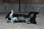 border-collie-rolle-01