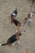 calming-signals-asta-beagletreffen-zuengeln