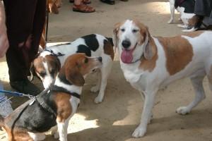 calming-signals-beagle-augen-zu-und-wegschauen