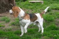 calming-signals-beagle-tierheim-pfote-heben