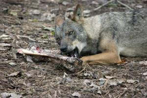 iberischer-wolf-mit-knochen