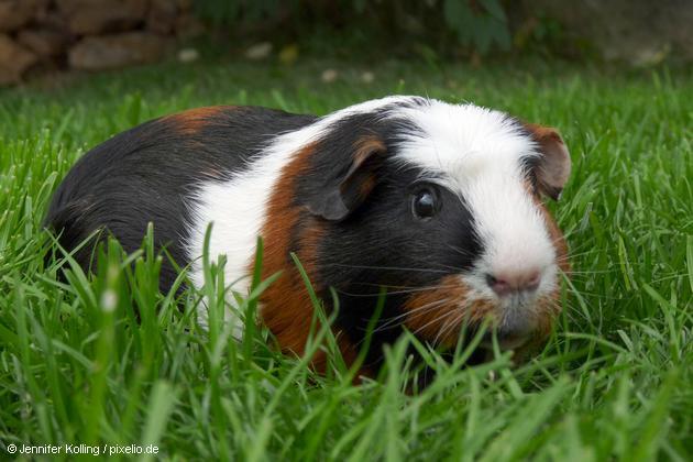 meerschweinchen-538144-original-r-k-b-by-jennifer-kolling_pixelio.de