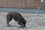 thai-ridgeback-tosca-target-stick-02