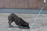 thai-ridgeback-tosca-target-stick-03