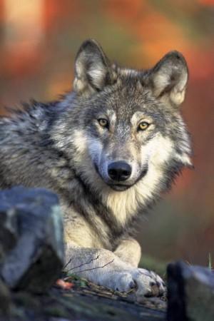 wolf-ruhend