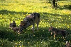 wolf-und-jungtiere
