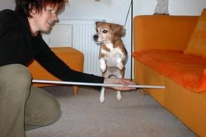 beagle-asta-armsprung-01