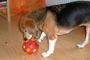 beagle-asta-futterball-02
