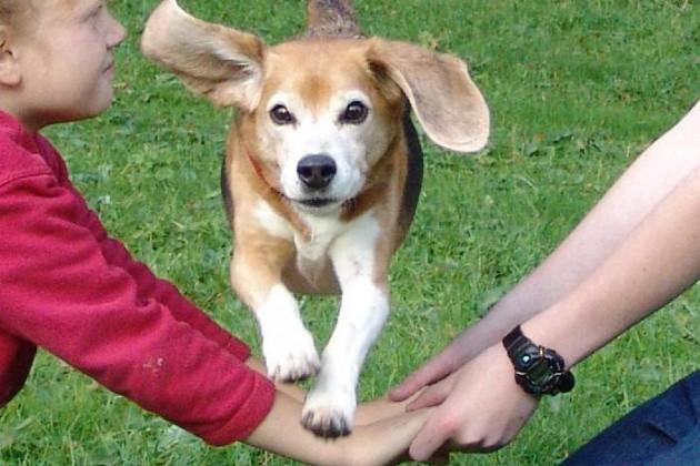 beagle-asta-huerde-menschen