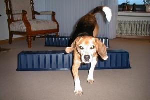 beagle-asta-huerde-wohnzimmer