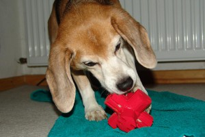 beagle-asta-kong-jumping-jack