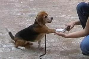beagle-asta-krallen-schneiden-02