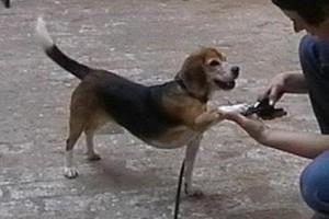 beagle-asta-krallen-schneiden-03