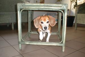 beagle-asta-tierarztpraxis-03