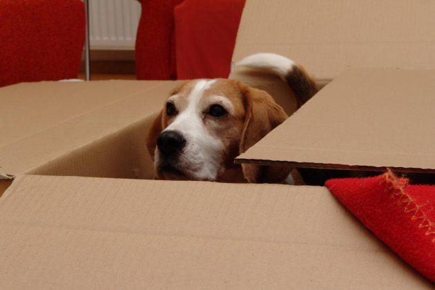 beagle-birte-in-karton