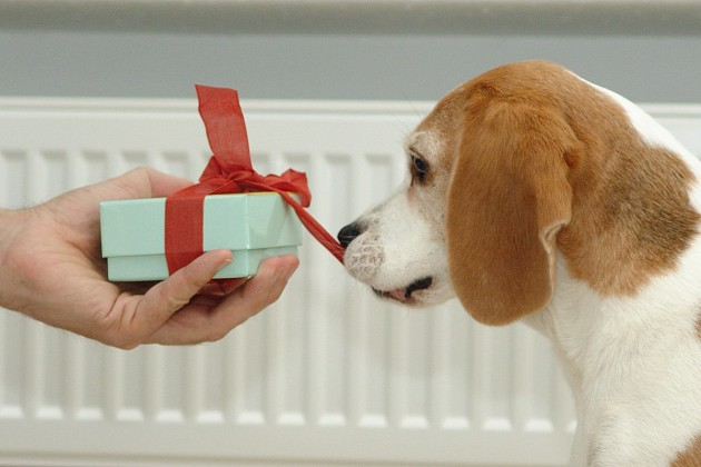 beagle-birte-schleife-ziehen-01
