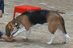 beagle-emma-pfote-01
