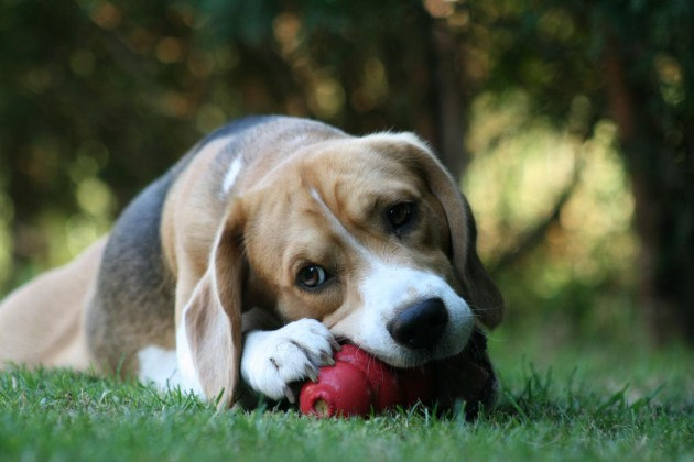 beagle-harley-kong-kaugesicht