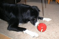 biscuit-ball-03-border-collie-coda