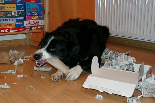 border-collie-coda-kauen-snackpaket
