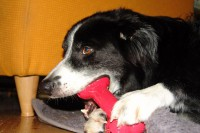 border-collie-coda-kong-goody-bone-03