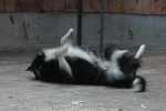 border-collie-rolle-02