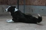 border-collie-rolle-04