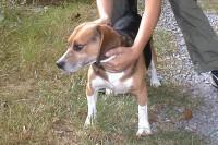 calming-signals-beagle-festgehalten