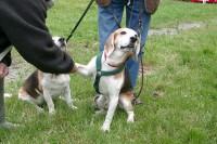 calming-signals-beagle-pfote-geben-wegschauen