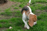 calming-signals-beagle-tierheim-boden-schnueffeln