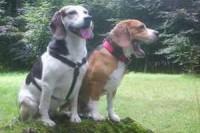 calming-signals-beagles-beschwichtigen