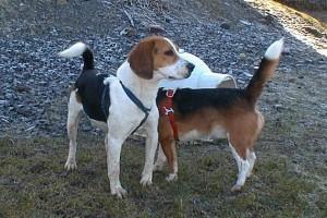 calming-signals-beagletreffen-bewegung-verlangsamen