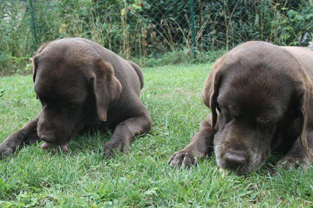 hundeeis-glace-rinderknochen-gefuellt-labradore-in-aktion
