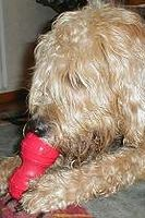 otterhound-belanca-dental-kong