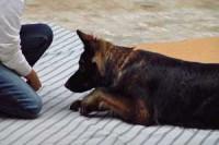 schaeferhund-kriechen