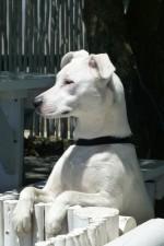 terrier-aufpassen-territorial-dog-548000
