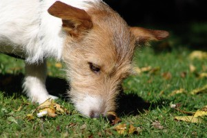 terrier-nase-am-boden
