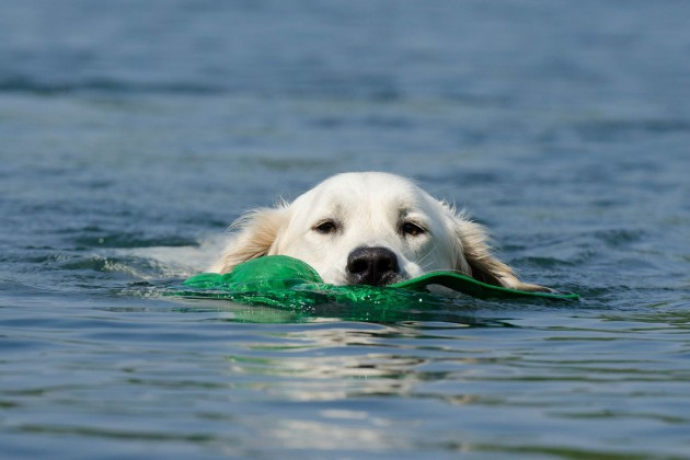 wasser-dummy-golden-retriever-662817