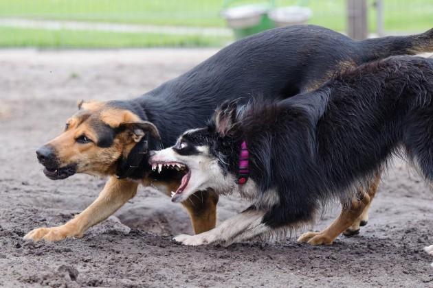 zwei-hunde-spiel-border-collie-672764